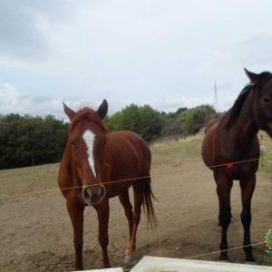cavalli 2